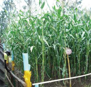 maize-field