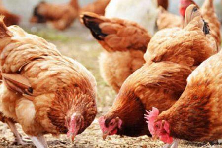 Kenya lifts Uganda poultry ban after 15 months