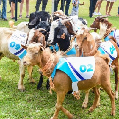 ROYAL TREATMENT: Speke Resort to offer up to 27% discounts on rooms during The Royal Ascot Goat Races; due this weekend